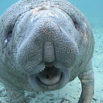 Swimming with Crystal River Manatees