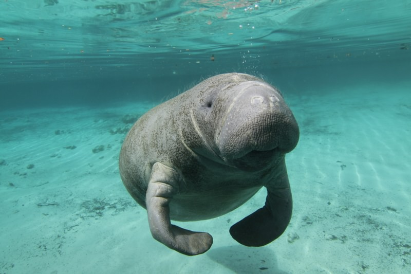 Crystal River Manatee Tours Snorkeling Swimming With Manatees